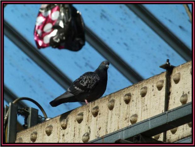 Waterloo Pigeon